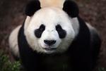 Обои Панда смотрит на нас