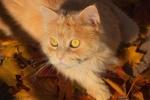 Обои Пушистый рыжий котенок лежит на желтых осенних листьях