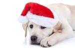 Обои Щенок золотистого ретривера лежит в красном новогоднем колпаке на белом фоне