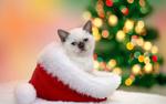 Обои Маленький белый котенок с голубыми глазами сидит в новогодней шапке на фоне елки и боке