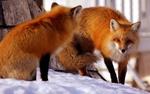 Обои Две лисы на снегу, by JackknifeS