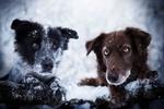Обои Две собаки под падающим снегом, фотограф Anne Geier