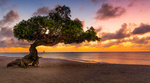 Обои Дерево Арубы на побережье, фотограф Serge Ramelli
