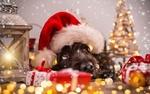 Обои Пес в шапке Санта-Клауса лежит возле подарков