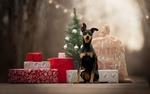 Обои Собака породы пинчер сидит на дороге возле подарков и новогодней елки