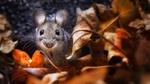 Обои Маленькая мышь в листве, фотограф Wolfgang Korazija