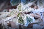 Обои Ветка с листьями в зимних снежных кристаллах, фотограф Adam West