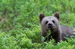 Обои Медвежонок на природе, фотограф Francesco Magoga