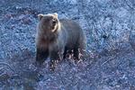 Обои Медведь на природе, фотограф Debbie Tubridy