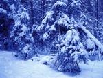 Обои Деревья в зимнем лесу опустили ветки под тяжестью снега, вечер в синих тонах