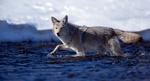 Обои Волк в ледяной холодной реке, фотограф Jon Albert