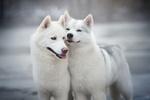 Обои Две собаки стоят рядом, фотограф Iza Lyson