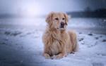 Обои Собака породы золотистый ретривер лежит на снегу