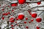 Обои Новогодние красные шары, развешанные на заснеженные ветки деревьев