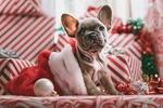 Обои Серенький щенок мопса, навострив ушки, сидит в шапке Санта-Клауса / Santa Claus на подарках, by Jakob Owens