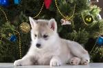 Обои Щенок породы сибирский хаски отдыхает у новогодней елки