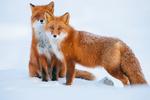 Обои Две лисы на снегу, фотограф Ivan Kislov