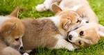 Обои Щенки лежат на траве