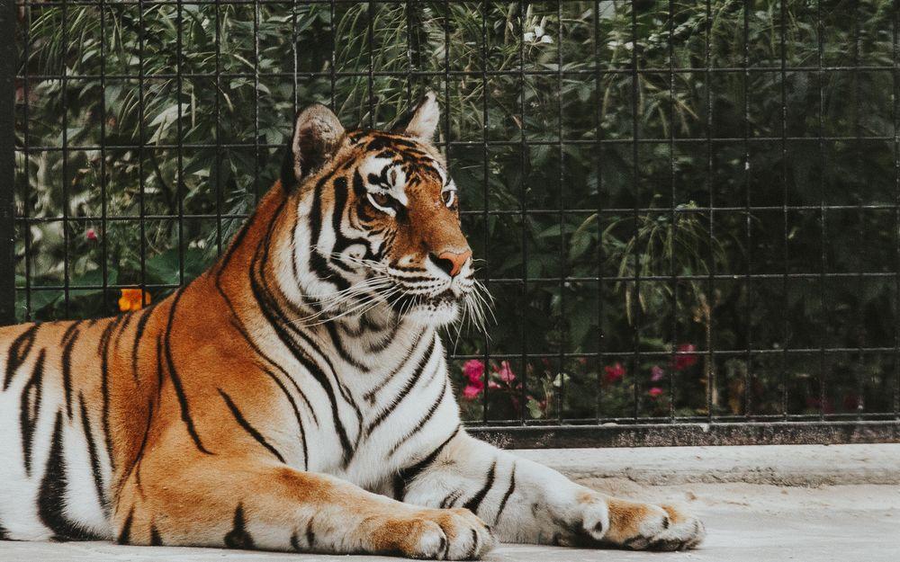 Обои для рабочего стола Тигр в зоопарке