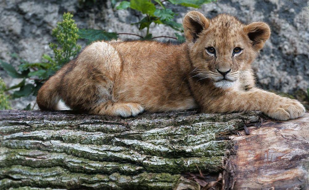 Обои для рабочего стола Львенок лежит на стволе упавшего дерева и смотрит в камеру