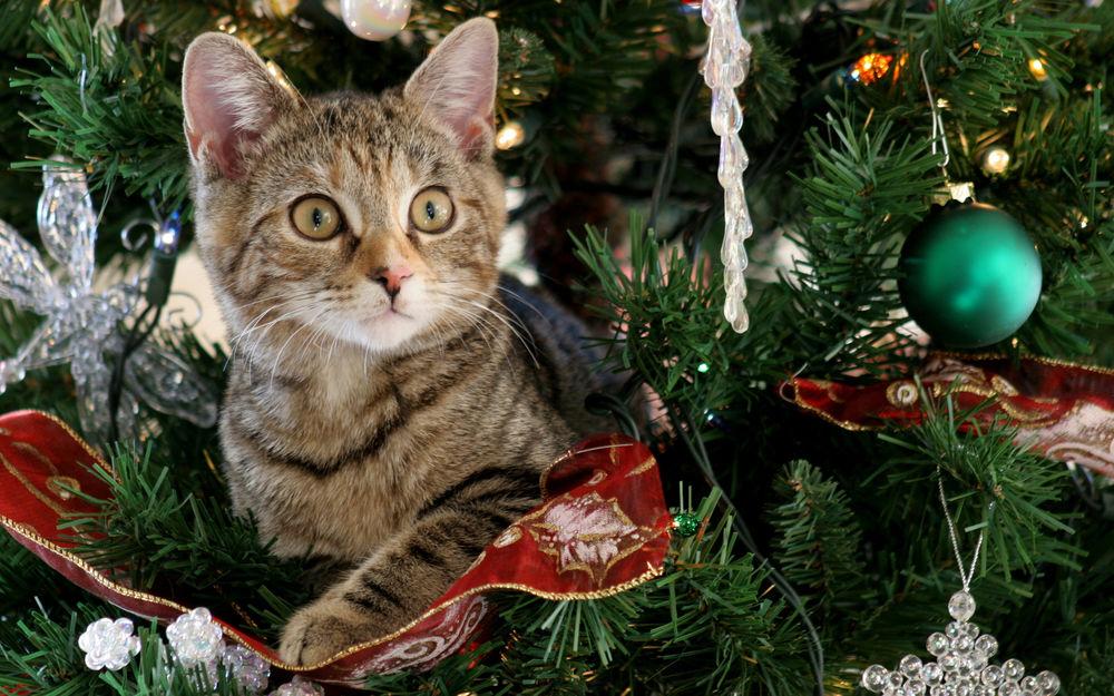 Обои для рабочего стола Маленький серый полосатый котенок изумленно выглядывает с украшенной новогодней елки
