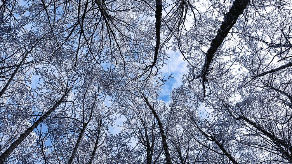Обои для рабочего стола Заснеженные вершины деревьев на фоне голубого неба, вид снизу
