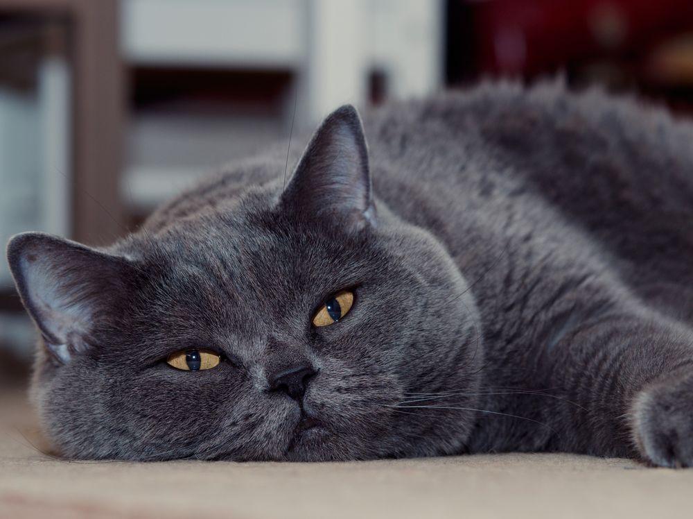 Британская кошка картинки на рабочий стол