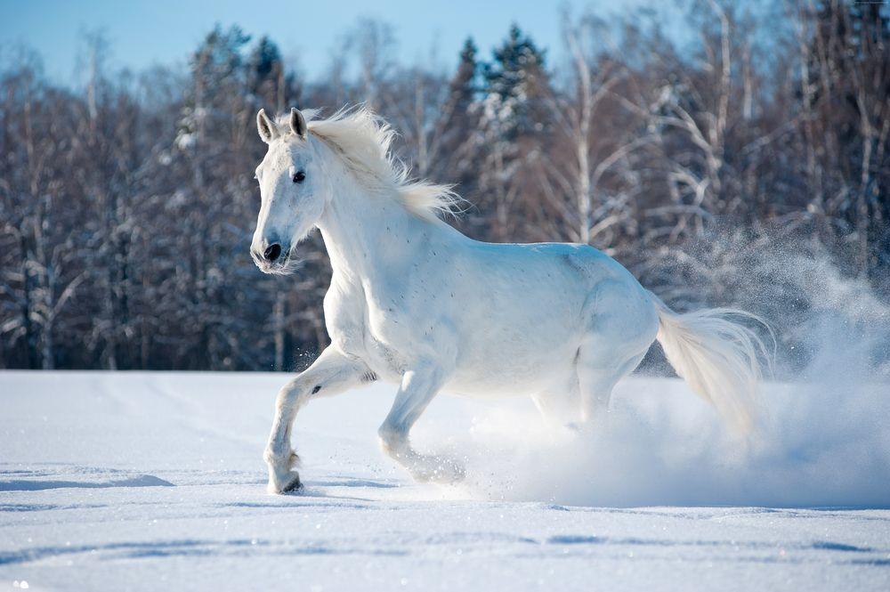 Обои для рабочего стола Белый конь бежит по снегу на фоне леса