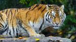 Обои Тигр лежит на камне под дождем