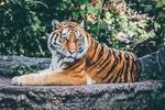 Обои Тигр на камне в заповеднике