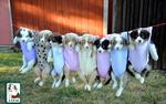 Обои Голубоглазые щенки австралийской овчарки, одетые в детские боди, висят на веревке