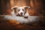 Обои Пес положил голову и лапы на бревно, фотограф Alicja ZmysЕ'owska