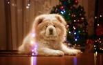 Обои Пес породы чау-чау лежит на полу перед новогодней елкой, фотограф Ирина Никеева