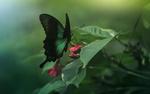 Обои Изумрудная бабочка среди зеленой листвы, фотограф Дмитрий посевич