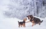 Обои Овчарка и щенок радостно играют в снегу