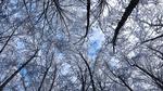 Обои Заснеженные вершины деревьев на фоне голубого неба, вид снизу