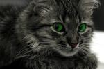 Обои Зеленоглазая серая в полоску кошка, фотограф ustas-22