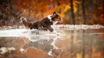 Обои Собака бежит по воде в осеннем парке
