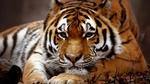Обои Грустный взгляд тигра