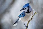 Обои Голубая сойка на ветке, фотограф Jim Elve