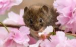 Обои Мышь на ветке сакуры