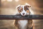 Обои Пес положила голову и лапы на бревно, фотограф Iza ЕЃyson