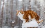 Обои Бело-рыжий кот на заснеженном пне