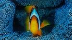 Обои Рыба-клоун в синем анемоне, by Barathieu Gabriel