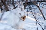 Обои Белый заяц прикрывает лапами мордочку
