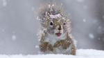 Обои Белка под падающим снегом