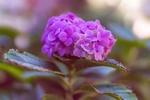 Обои Соцветие розовой гортензии на размытом фоне