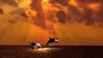 Обои Две касатки выпрыгивают из воды под лучами, заходящего солнца