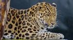 Обои Леопард лежит под дождем