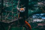 Обои Малая панда сидит на дереве, фотограф Алекс К